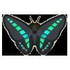 Common Bluebottle Image
