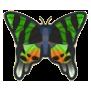 Madagascan Sunset Moth Image