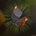 Smotherwing Butterfly Icon